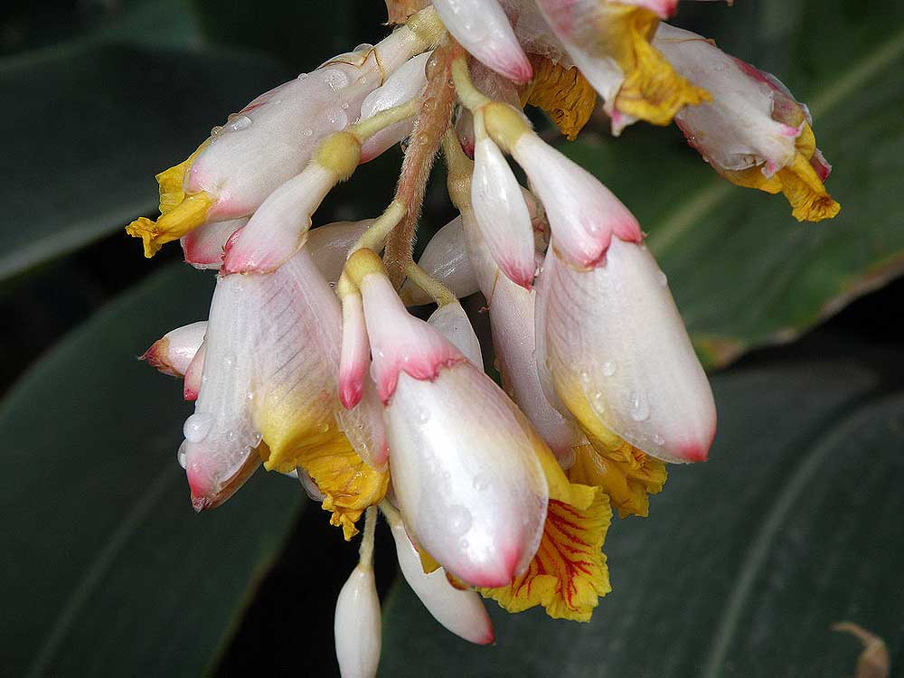 "Cardamom flowers. Image from <a href=""https://commons.wikimedia.org/wiki/File:Cardamom_flowers.jpg"">Wikimedia commons</a>."