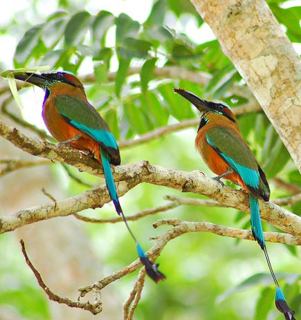 turquoise-browed motmots