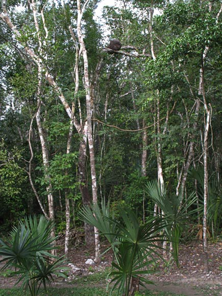 the forest at coba
